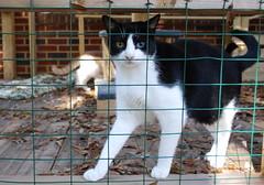Idaho's Eyes (rootcrop54) Tags: cat chat idaho gato neko 猫 macska gatto kot nekochan kočka kedi chatte katt enclosure kissa köttur mačka kucing oddeyed кошка 고양이 katė γάτα maček kaķis catenclosure oddeyes gorbe kissablekat maskedcat catmoments pisică