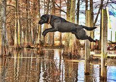 [フリー画像] [動物写真] [哺乳類] [イヌ科] [犬/イヌ] [ラブラドール・レトリバー] [跳ぶ/ジャンプ]     [フリー素材]