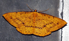 wings of the night (xeno(x)) Tags: macro art nature yellow wall canon grey asia moth explore zen geometridae 2008 xeno 40d excapturemacro desmobathrinaeeumeleasp