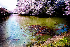 Moat (moaan) Tags: life leica fish bird digital duck utata aomori sakura carp cherrytree  m9 2011 hirosakicity superangulon21mmf34 inlife  leicasuperangulon21mmf34 fullblossom leicam9 gettyimagessakura rowofcherrytrees gettyimagesjapanq2