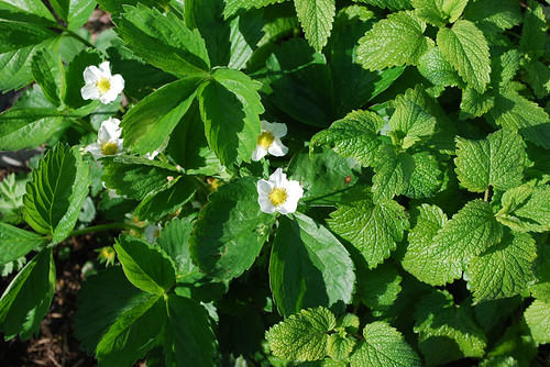 Strawberry in Flower with Lemon Balm