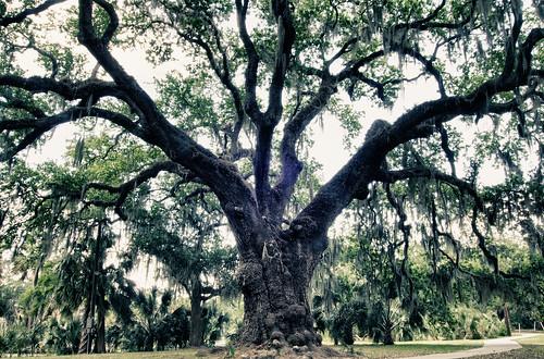 oak. New Orleans, LA