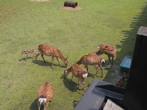 母子鹿の特別公開@鹿苑角きり場-11