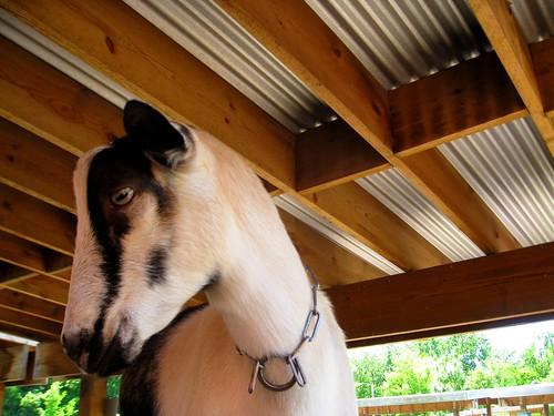 goat! (155/365)