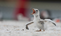 "Baby Black Skimmer ""I think I can fly"" (Explore) (Photomatt28) Tags: bird florida babybird avian blackskimmer rynchopsniger floridabirds birdphoto babyblackskimmer"