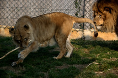 wanna play? (olszuffka) Tags: animal animals lion zoofrancelions