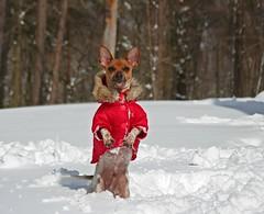 Pokey's Parka (Boered) Tags: rescue dog snow cold coat pokey parka blueribbonwinner twtmeiconoftheday impressedbeauty