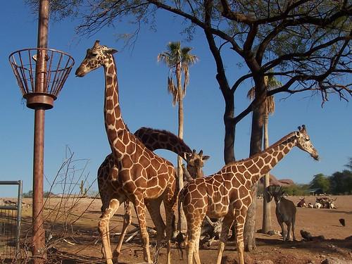 Giraffes @ Phoenix Zoo 1