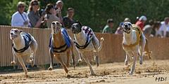Greyhounds_Sachsenheim
