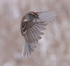 A moment in time (naturelover2007) Tags: tree bird nature fauna flight american sparrow blueribbonwinner supershot featheryfriday birdphoto specanimal theworldisbeautiful platinumphoto anawesomeshot goldenphotographer avianexcellence diamondclassphotographer flickrdiamond incrediblenature faunainmotion excellentphotographerawards yourbestshot brillianteyejewel theperfectphotographer goldwildlife