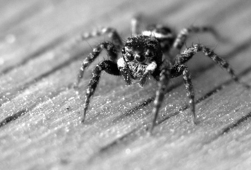 Jumping Spider B&W