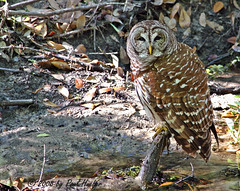 Barred Owl (Strix varia) (Paul Hueber) Tags: bird nature birds canon florida wildlife aves ave owl handheld avian barredowl seminolecounty centralflorida strixvaria bado musicarver bdow