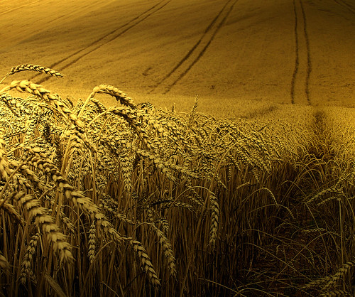 Golden wheat harvest | Flickr - Photo Sharing!