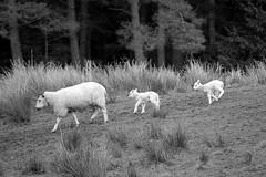 Newly borns (korayatasoy) Tags: road uk trip lake scotland highway sheep lowlands scottish loch lomond yol aberfoyle scozia gl a82 koyun kuzu iskoya trossarchs