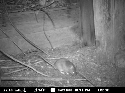 woodrats in outhouse
