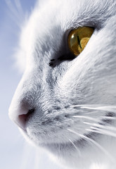 The whitest cat I know (Villi.Ingi) Tags: portrait white macro eye face yellow closeup cat canon nose 350d feline bright kitty whiskers lotta whitecat pipc dapa wiredcom mywinners dapagroup bestofcats bocwinner dapagroupmeritaward classycats platinumheartaward world100f dapagroupmeritaward2 boc0608