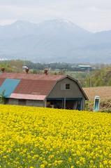 菜の花畑とトイレ