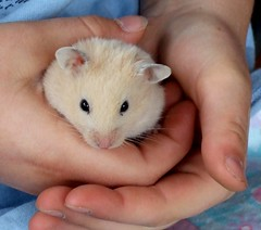 Susie the Hamster
