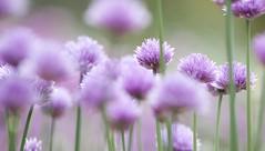 Chives (george.wilson) Tags: plant flower macro nature garden purple bokeh lavender stalk herb chive
