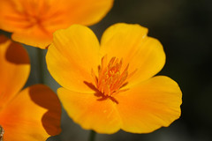 California poppy (David Lev) Tags: plants flower macro mygarden nirim masterphotos