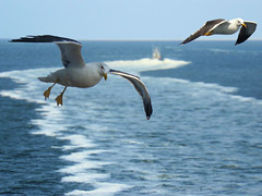 Seagulls gliding behind the ferry (Bn) Tags: seagulls topf25 waddenzee topf50 searchthebest noordzee northsea chapeau gliding topf100 soe texel noordholland denhelder larus zweven teso blueribbonwinner yellowleggedgull seamew zeemeeuwen 100faves 50faves 35faves 25faves animalkingdomelite abigfave yellowleggedgulls anawesomeshot superbmasterpiece diamondclassphotographer flickrdiamond coastalareas colourartaward theperfectphotographer goldstaraward fanflickrtastic bootdienst bootdienstnaartexel