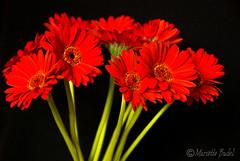Red gerberas (Maritte Budel) Tags: flowers red gerbera