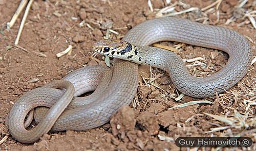 לוכד נחשים - (Eirenis modesta) שלוון קולר