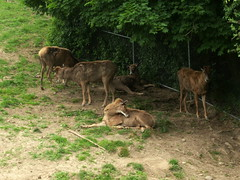 RGZ - White-lipped Deer (fkalltheway) Tags: deer rosamondgiffordzoo whitelippeddeer wildlifetrail fkalltheway