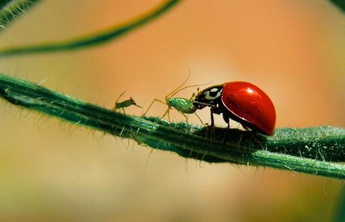 フリー写真素材, 動物, 昆虫, てんとう虫・テントウムシ, アブラムシ,