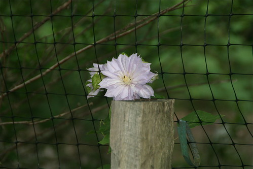 Double clematis resting on a fence post