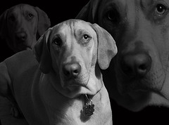 Reprogramming (joshcalebwray) Tags: blackandwhite rescue pets color dogs photoshop d50 nikon lab yellowlab texas animallover mabel nikond50 adobe labradorretriever layers granny tamron northtexas rescuedogs doglover photo manipulation weimaranar femalephotography photoshop thelittledoglaughed elements joshcalebwray enhancing