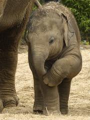 Budi (Britta's photo world) Tags: baby elephant cute nikon lovepeace britta elefant soe budi d3 dublinzoo blueribbonwinner efelant ephelant niermeyer bej mywinners platinumphoto anawesomeshot impressedbeauty theunforgettablepictures platinumheartaward goldstaraward tup2 elephantsrhinosgiraffeshippos itsazoooutthere damniwishidtakenthat llovemypics