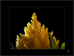 Negro y Amarillo (Paco CT) Tags: black flower macro yellow dark bright negro flor explore amarillo 2008 vegetal brillante oscuro ltytr2 ltytr1 pacoct
