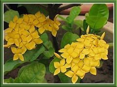 Yellow Ixora (maybe Ixora chinensis 'Singapore Yellow') in our garden