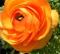 Orange Ranunculus