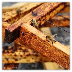 Miele (Giorgio Di Iorio Photo) Tags: canon square eos natura ape miele api naturalmente telaio 450d mywinners gioischia