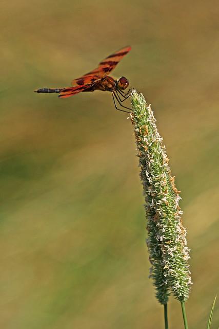 Halloween Pennant (Celithemis eponina) male