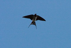 Summer Swallow in flight over the Kent Downs (JB photographer) Tags: summer england bird nature birds barn rural speed countryside kent flight wing fast explore migratory swallow barnswallow visitors visitor northdowns hirondelle swoop hirundorustica swallows vite birdwatcher girigiri migrant skimming newnham migrants rustica hirundo hirundine svala forkedtail summervisitor kentdowns golodrina copyrightjonathanbarkerphotographer inkonjani nyankalema syndalevalley