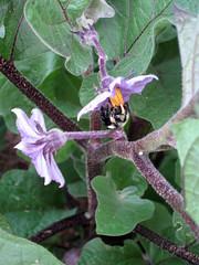 eggplant flower in bloom