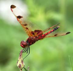 Calico Pennant (DrPhotoMoto) Tags: male dragonfly lovepeace elisa skimmer calicopennant celithemiselisa aplusphoto elisaskimmer spectacularmacro 37moto