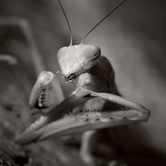 Praying Mantis ('SeraphimC) Tags: macro canon bug insect compound eyes yum 100mm 5d antennae thorax