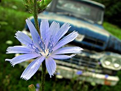 Shades of Blue (milfodd) Tags: blue ny flower colour ford truck f100 august 2008 redhook trailer34