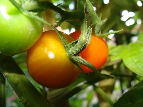Cape Ann Farmers Market Tomato Festival