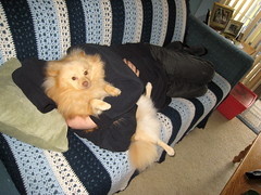 HALP! (kelaltieri) Tags: bear dog love home puppy daddy newjersey cream hugs pomeranian germanspitz mahwahbear