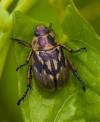 Beetle, Unidentified (Scarab?) (aeschylus18917) Tags: macro nature insect nikon g beetle micro  d200 nikkor f28 vr scarab coleoptera japanesebeetle scarabbeetle 105mm insecta  kabutomushi 105mmf28 scarabaeidae  105mmf28gvrmicro scarabaeoidea nikkor105mmf28gvrmicro   danielruyle aeschylus18917 danruyle druyle