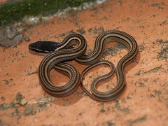 Culebrilla Rayada de Montaña / Nuevo Leon Graceful Brown Snake (Rhadinaea montana)