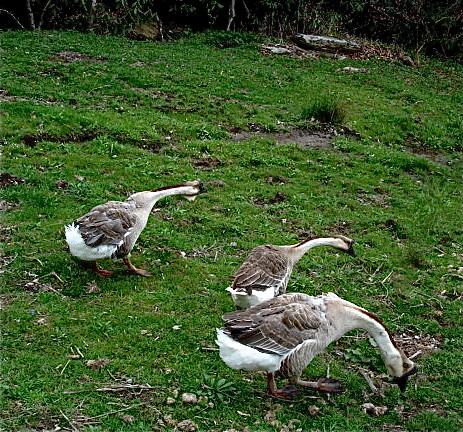 Healthy-pet-geese