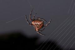 spider2 (KeltiKDragoN) Tags: orange macro spider pattern web weaving eightlegs intricate 8legs