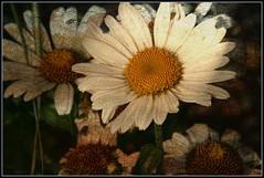 Bring Sunshine... (karenhunnicutt) Tags: flower sunshine minnesota happy spring warm summmer karenmeyere karenhunnicutt karenmeyer karenhunnicuttphotographycom