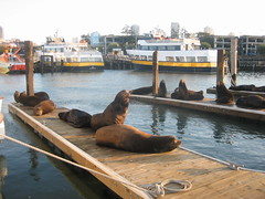 Pier 39 sea lions (North Beach, California, United States) Photo
